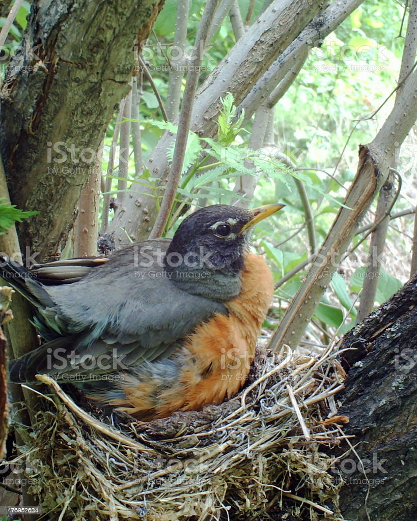 American Robin on her nest incubating four eggs stock photo