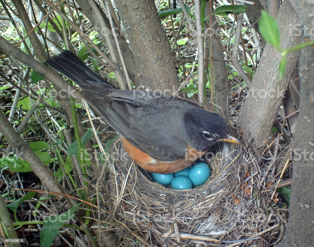 American Robin on her nest which holds four eggs stock photo