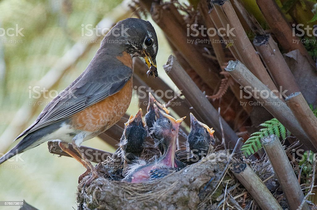 American Robin Parent Feeding Worms to Baby Chicks stock photo