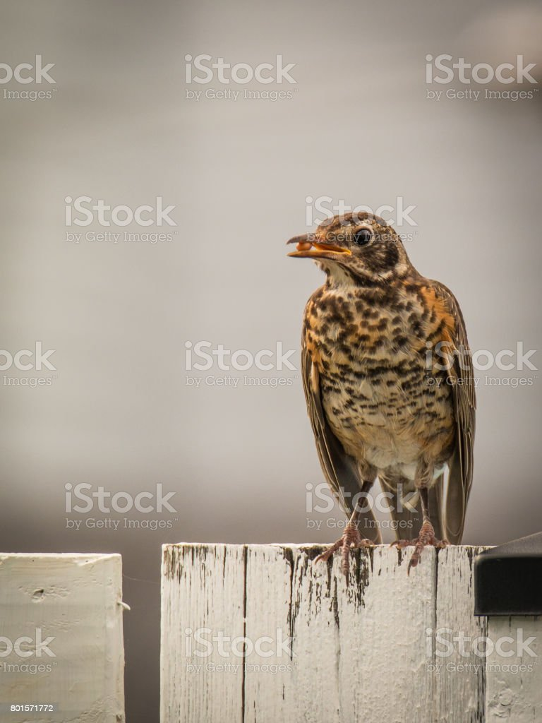 American Robin – Turdus Migratorius stock photo