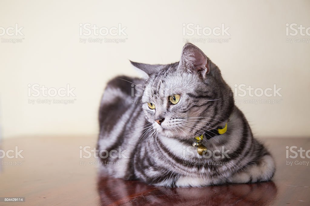 american short hair cat stock photo
