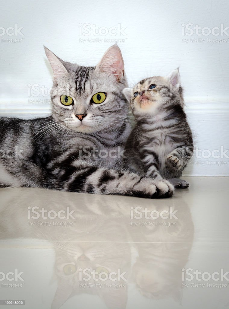 American shorthair cat family. Mom cat with kitten stock photo