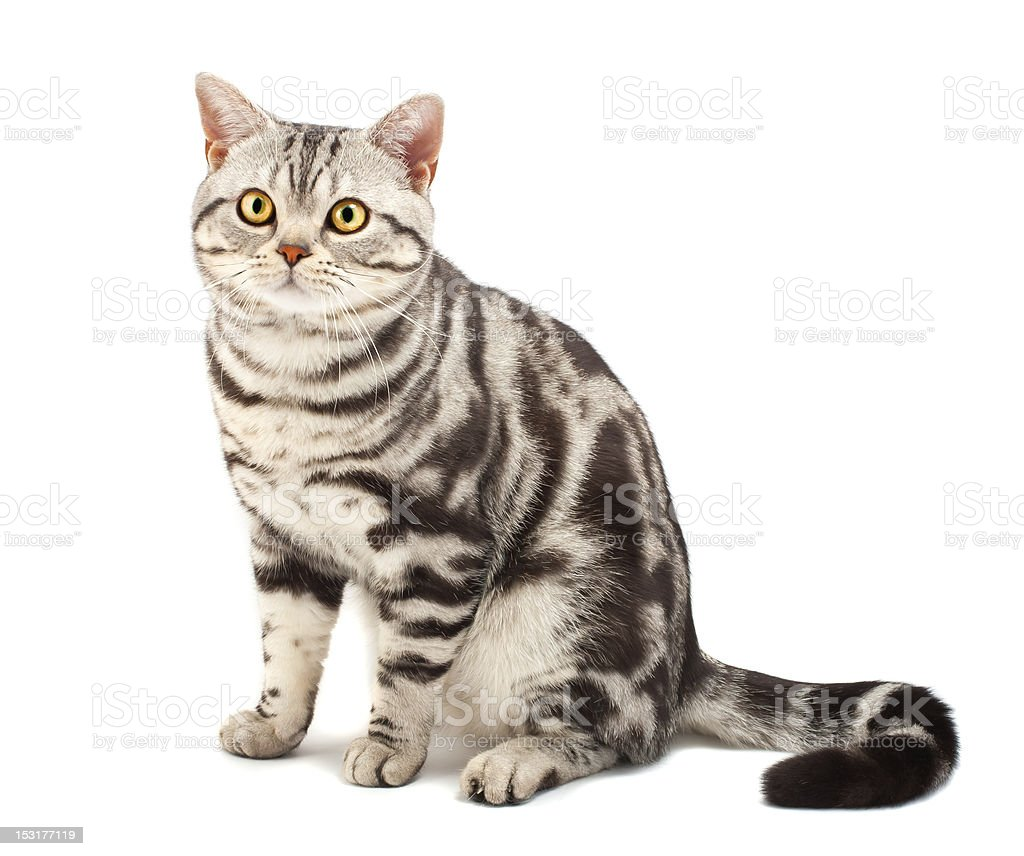 American Shorthair Cat in a beautiful and clean background stock photo