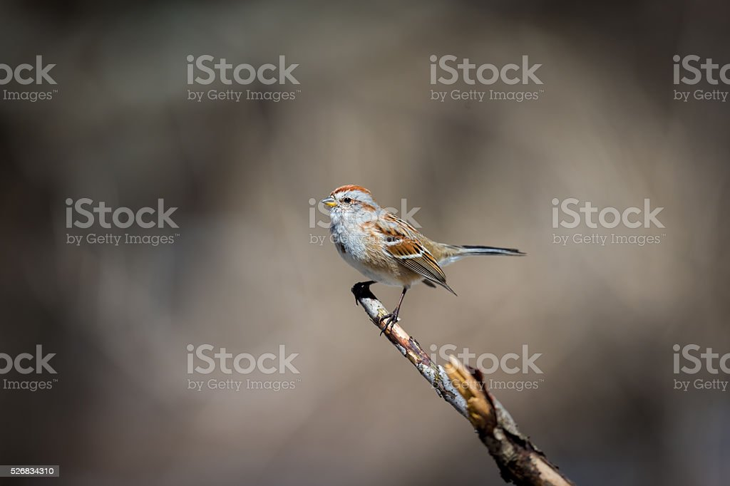 American Sparrow in a forest in Quebec. stock photo