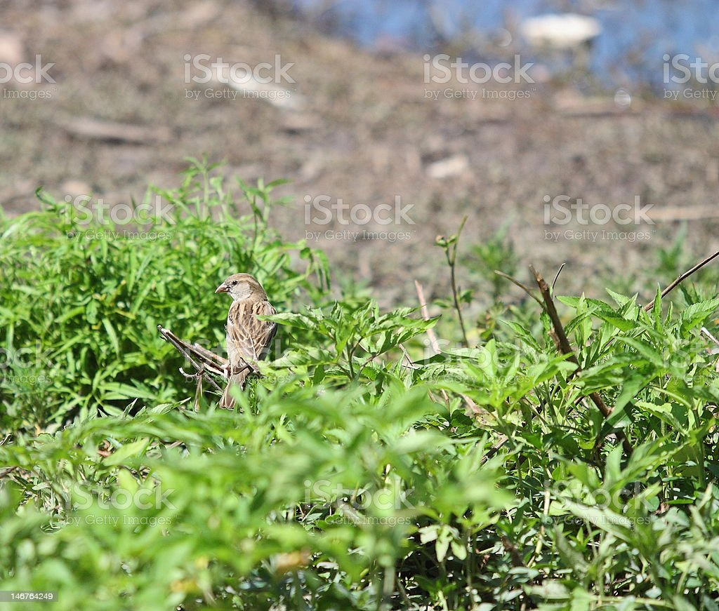 American Sparrow in Tree stock photo