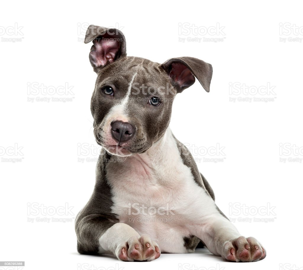 American Staff puppy in front of white background stock photo