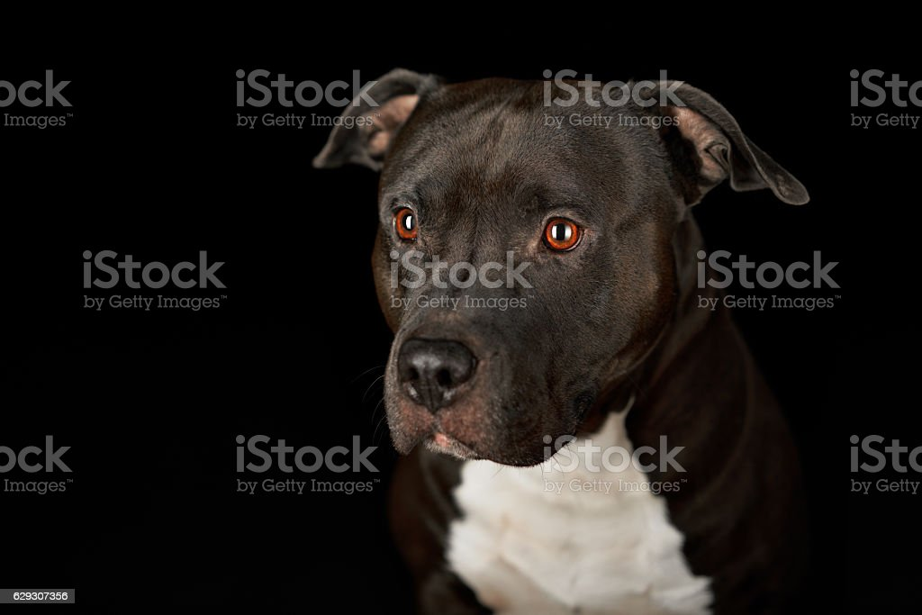 american stafford pitbull dog stock photo