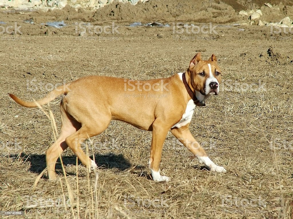 American Staffordshire royalty-free stock photo