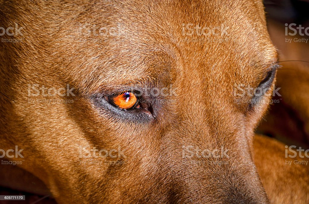 American Staffordshire Terrier Close up stock photo