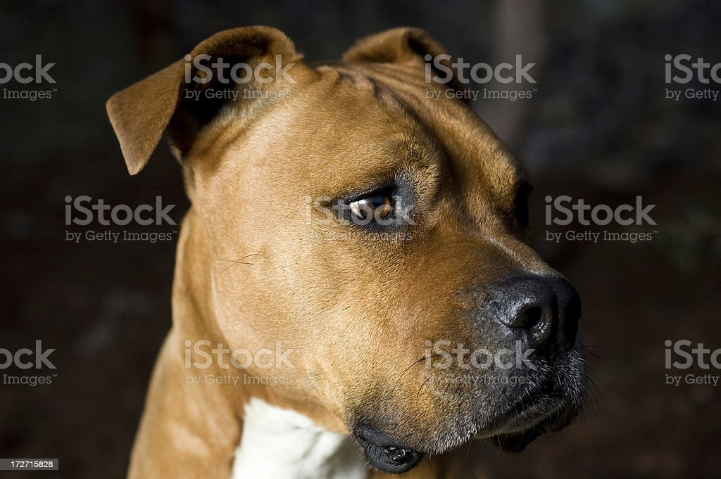 American Staffordshire Terrier Dog royalty-free stock photo