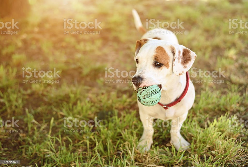 American staffordshire terrier dog stock photo