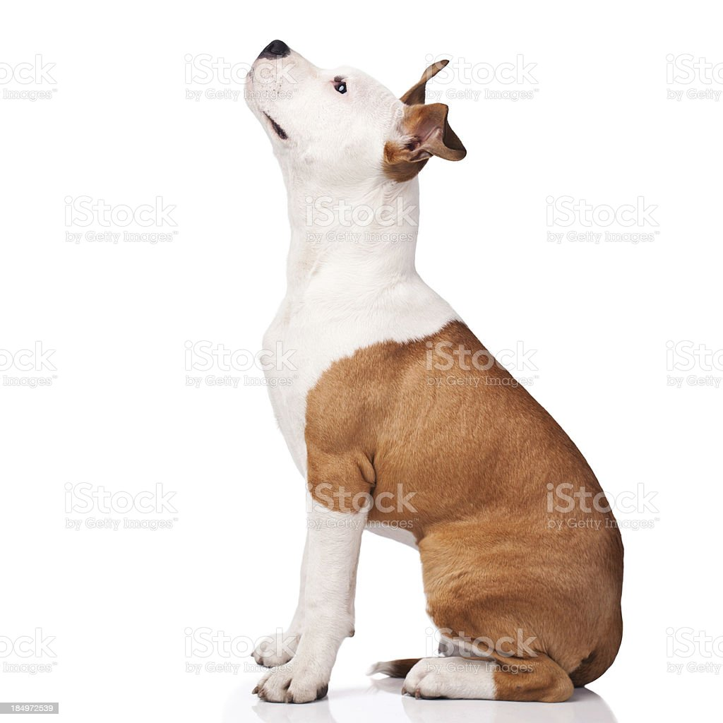 American Staffordshire Terrier obedience training stock photo