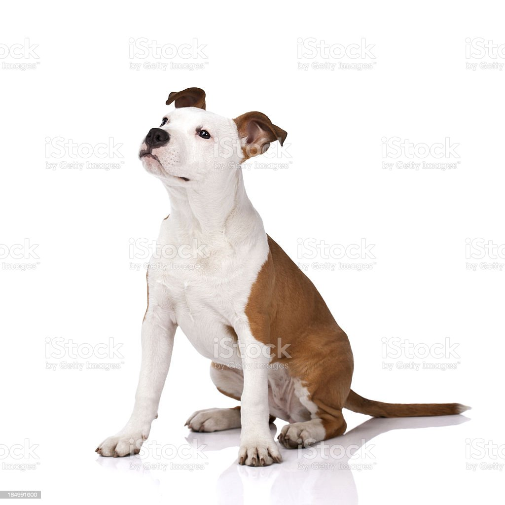 American Staffordshire Terrier obedience training royalty-free stock photo