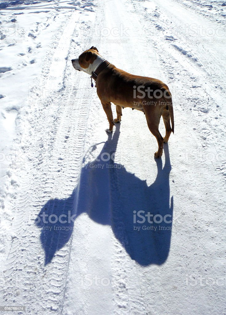 american staffordshire terrier on a snow street stock photo