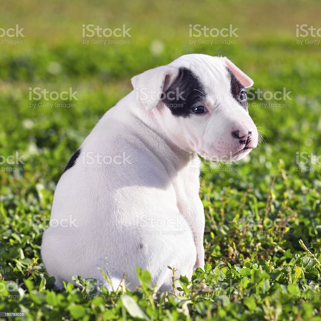 American Staffordshire terrier puppy royalty-free stock photo