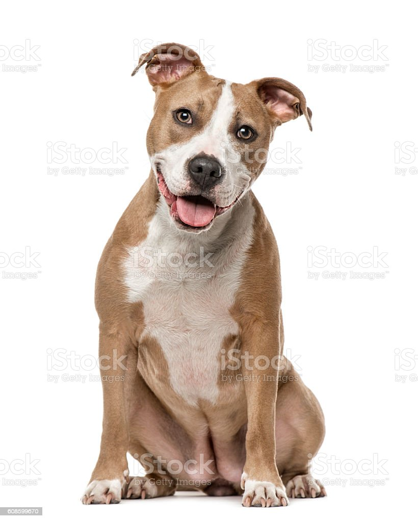 American Staffordshire Terrier sitting, isolated on white stock photo
