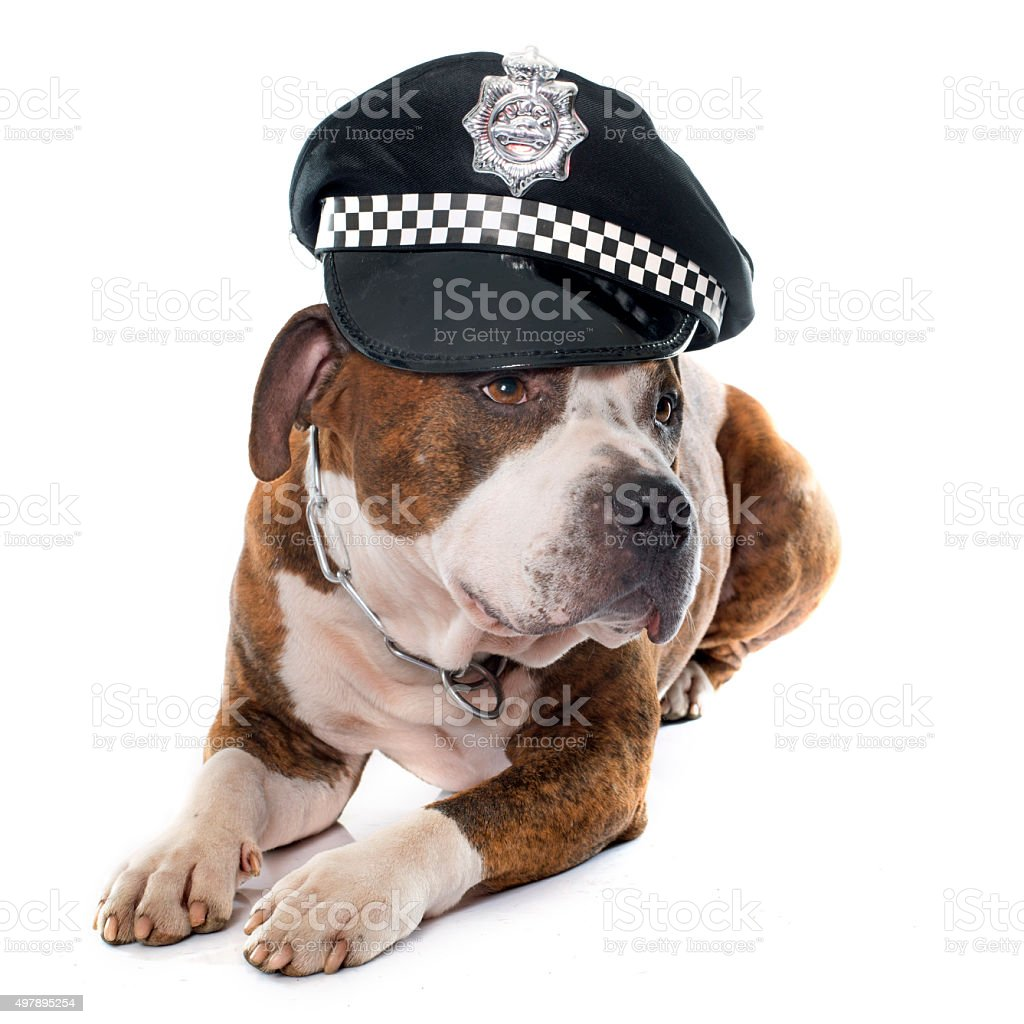 american stafforshire terrier and cap stock photo