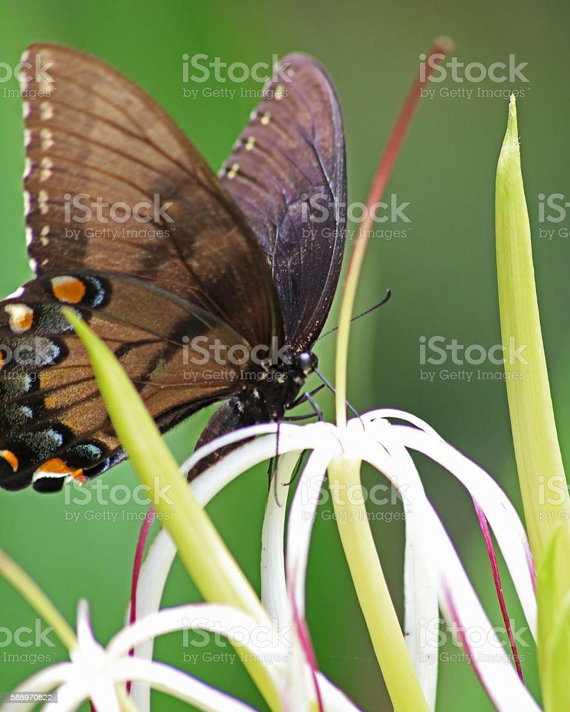 Papilio américain photo libre de droits