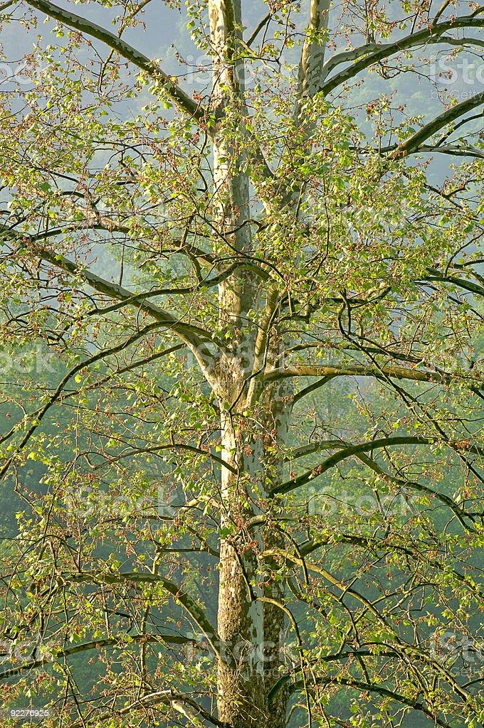 American Sycamore Tree (Platanus occidentalis) royalty-free stock photo