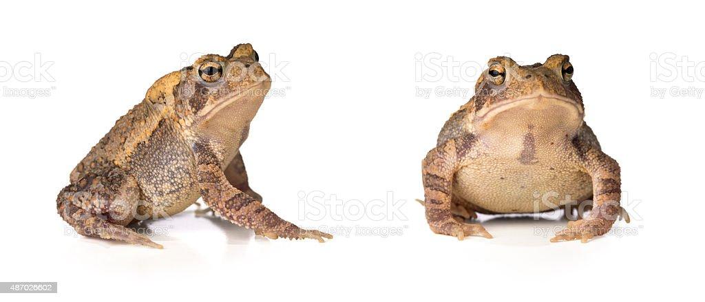 American Toad -Bufo Anaxyrus Americanus stock photo