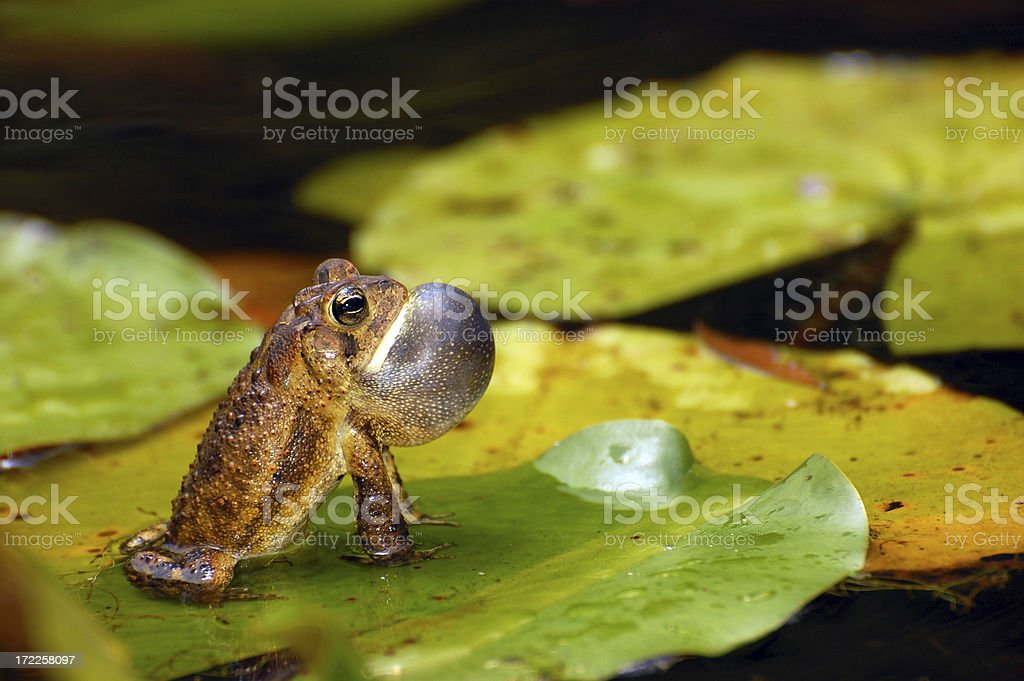 American Toad Croaking On a Lily - Closeup stock photo