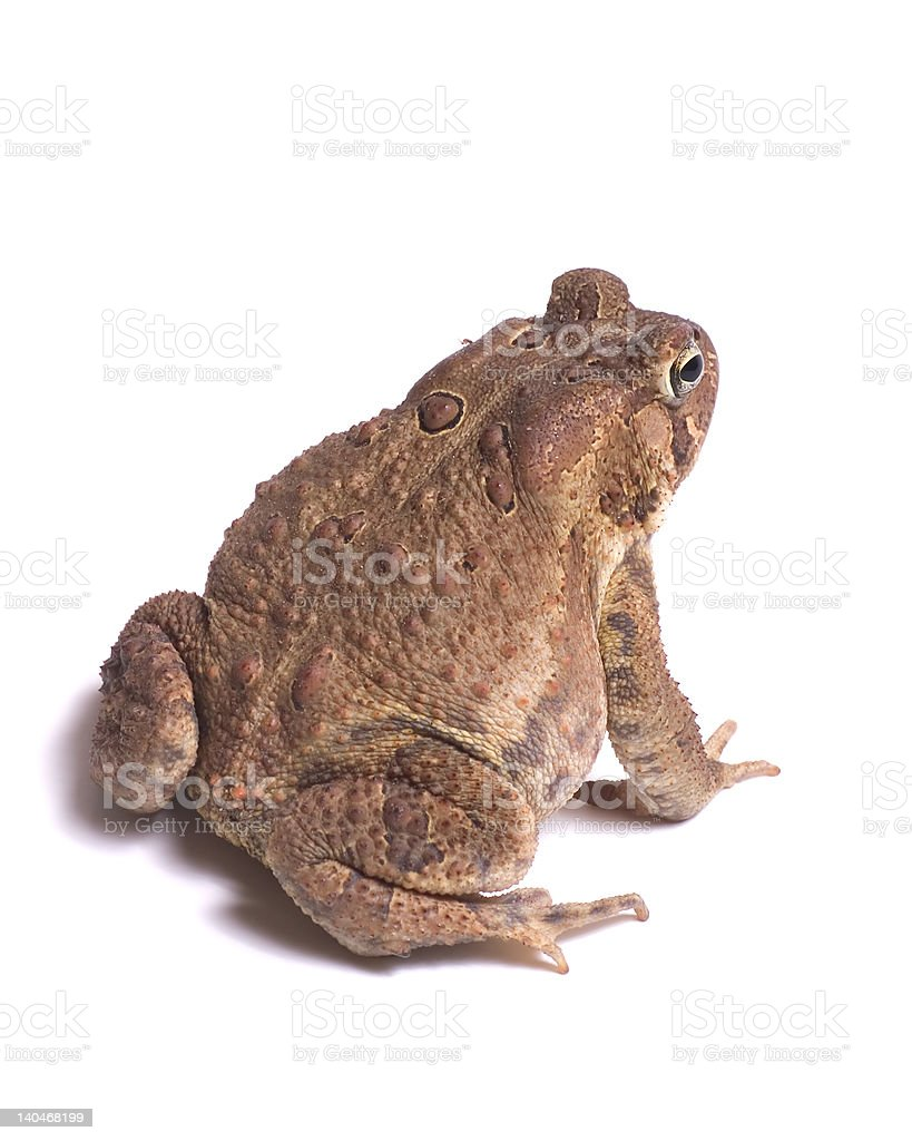 American Toad royalty-free stock photo