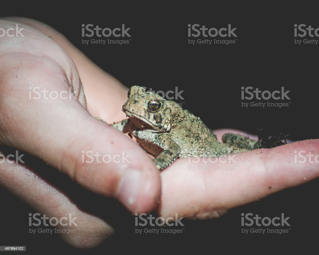 American Toad stock photo