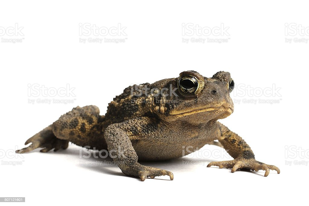 American Toad (Bufo americanus) stock photo
