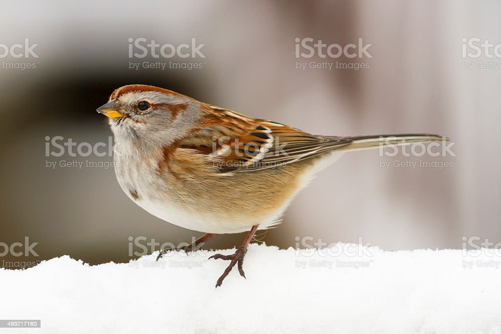 American Tree Sparrow Bird in the winter snow stock photo