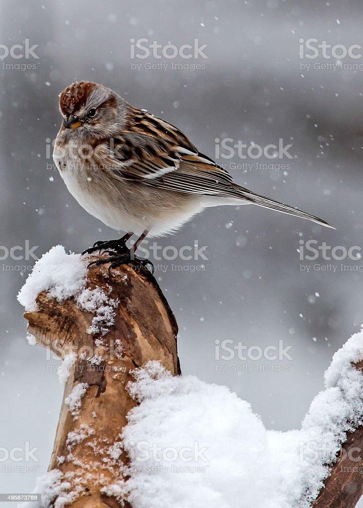 American Tree Sparrow in Snow stock photo