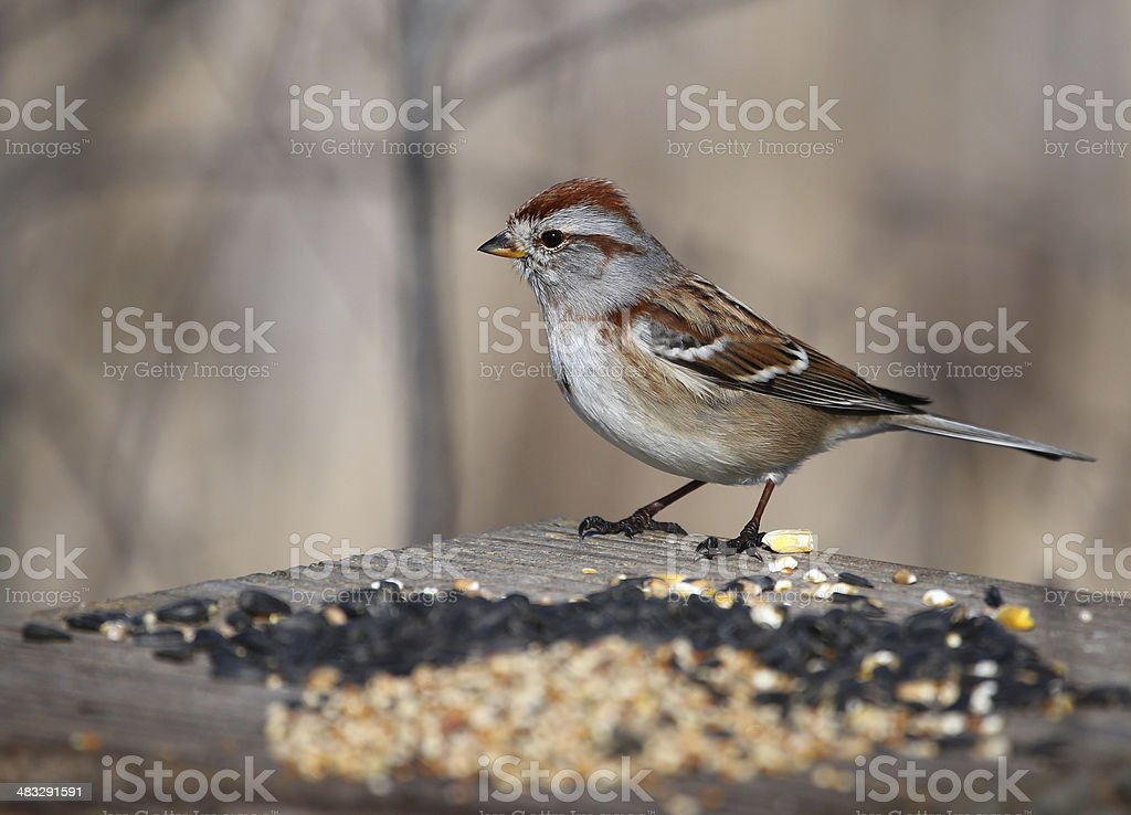 American Tree Sparrow on Bird Feeder stock photo