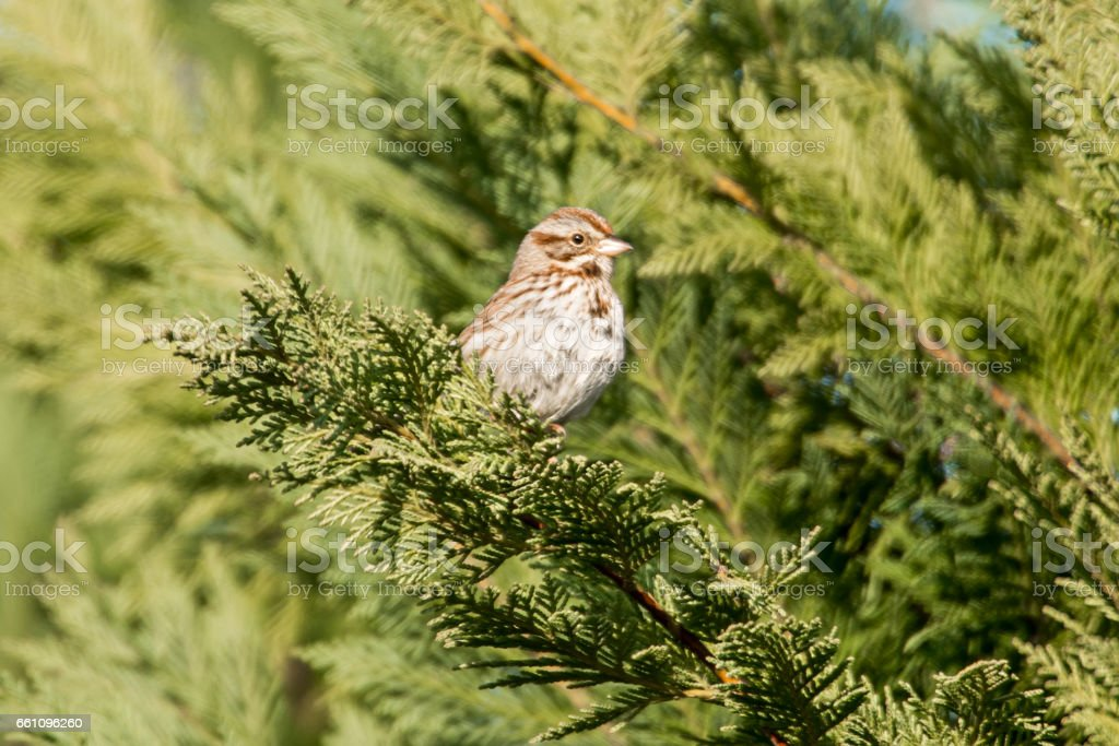 american tree sparrow perched on a tree in spring stock photo