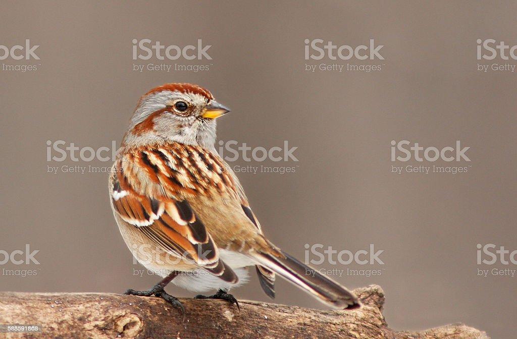 American Tree Sparrow stock photo