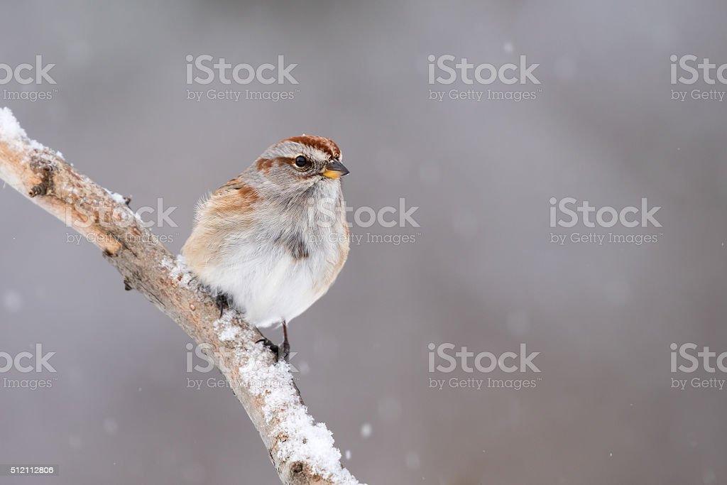 American Tree Sparrow, Spizella Arborea stock photo