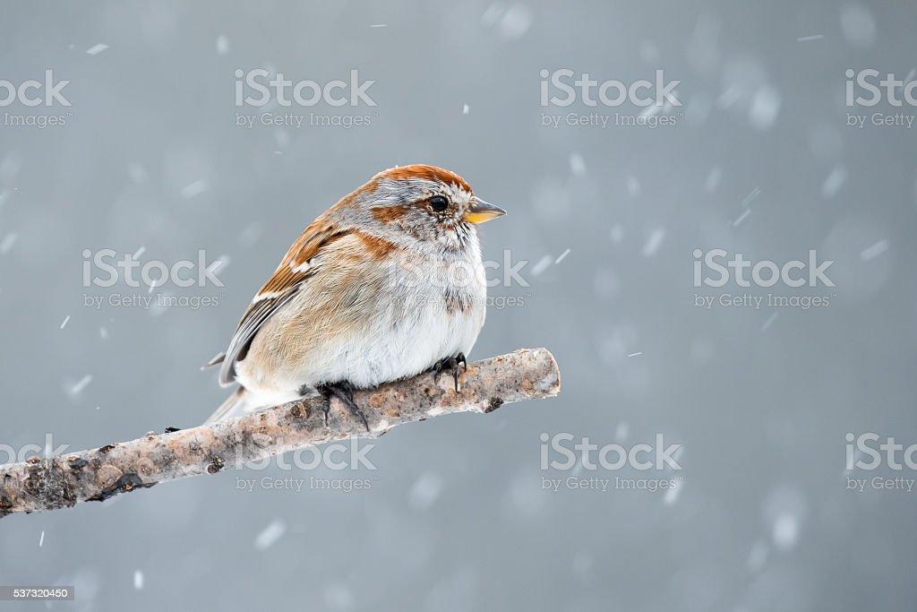 American Tree Sparrow - Spizella arborea stock photo