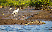 American white ibis and American crocodile facing on the riverbank