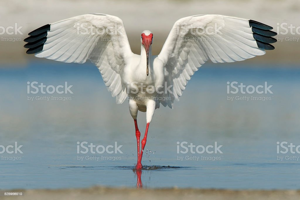 American White Ibis (Eudocimus albus), Fort De Soto Park, Florida stock photo