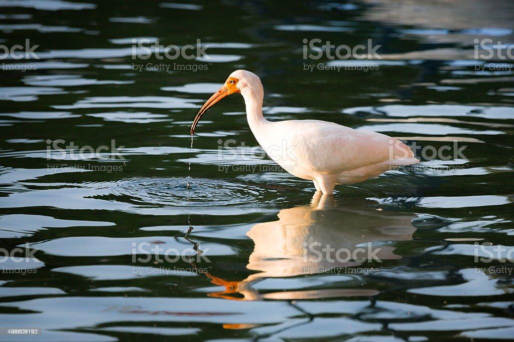 American White Ibis stock photo