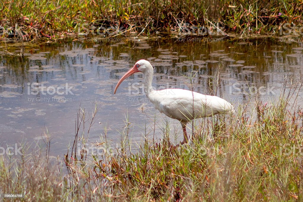 American White Ibis stock photo