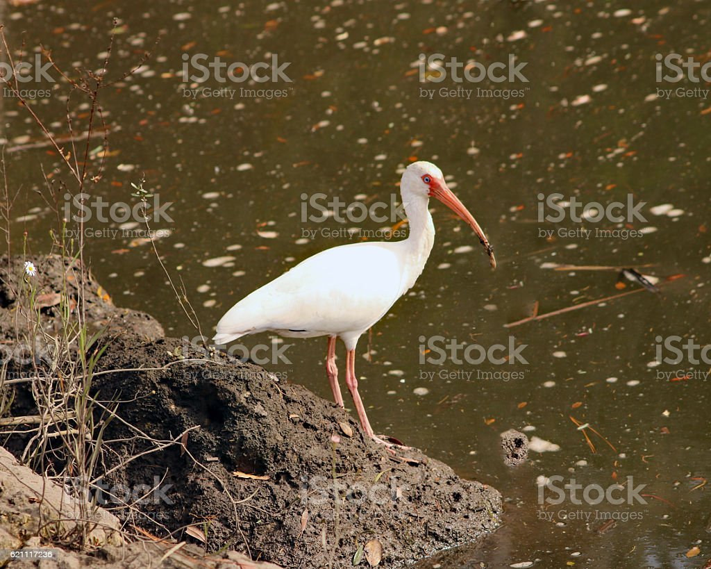 American ibis blanc photo libre de droits
