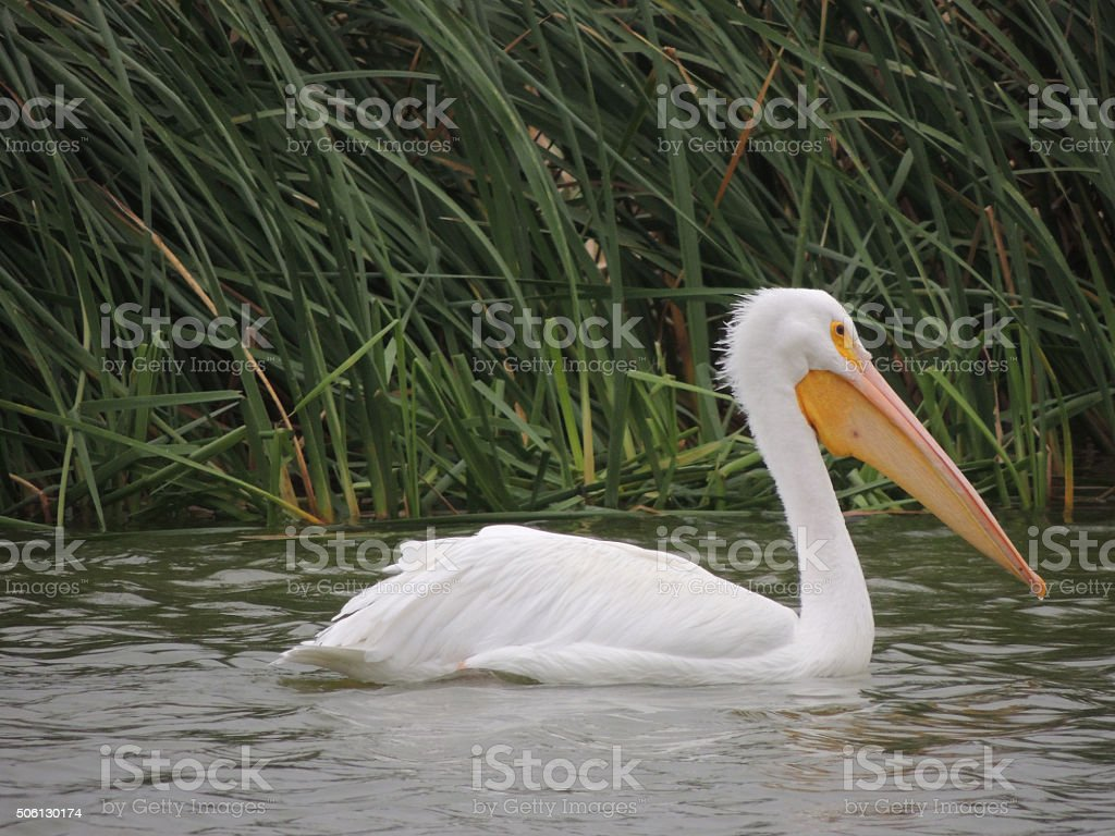American White Pelican floating against a background of green reeds. stock photo