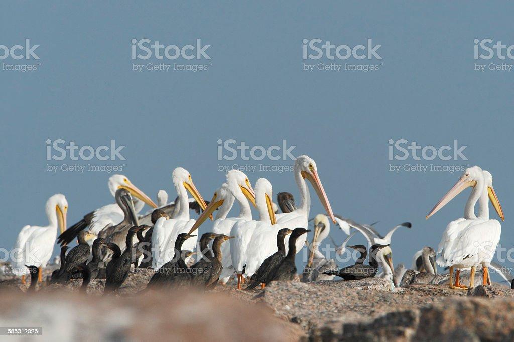 American white pelican (Pelecanus erythrorhynchos) flock, Bolivar Peninsula, Texas, USA stock photo
