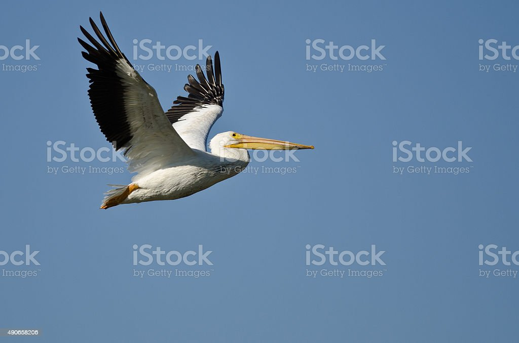 American White Pelican Flying in a Blue Sky stock photo