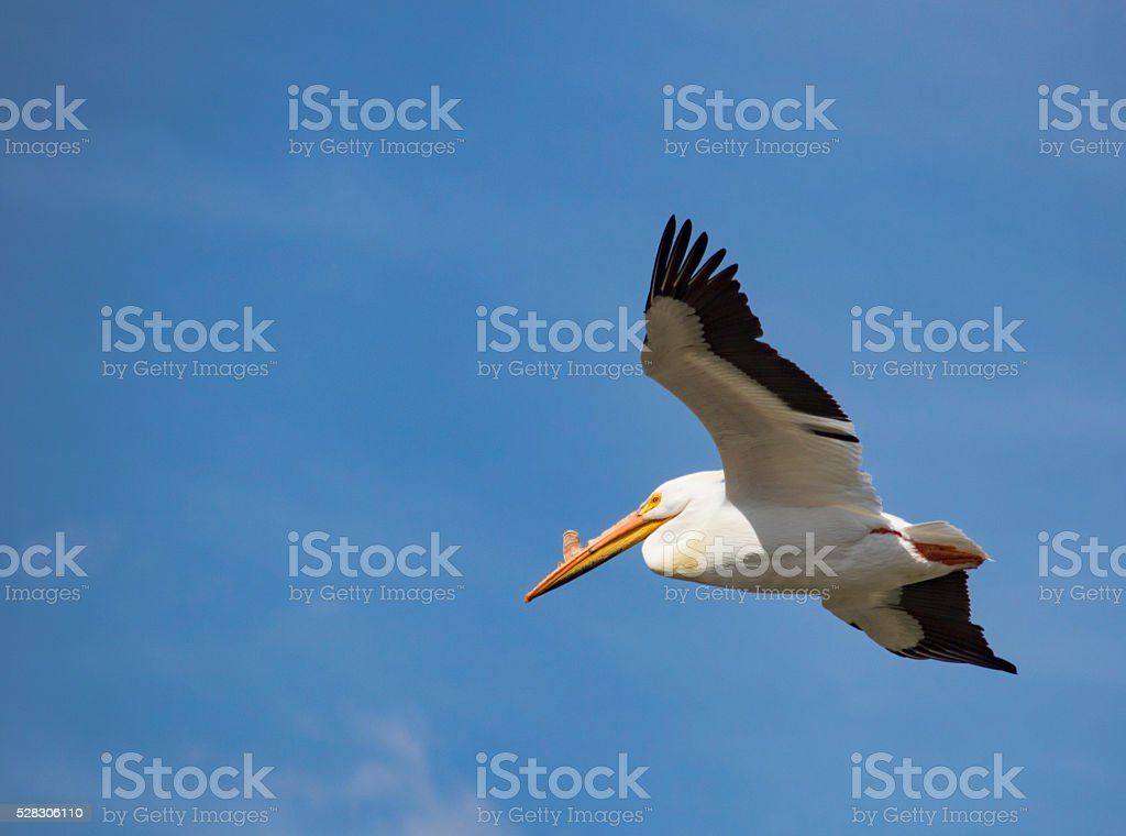 American White Pelican in flight stock photo