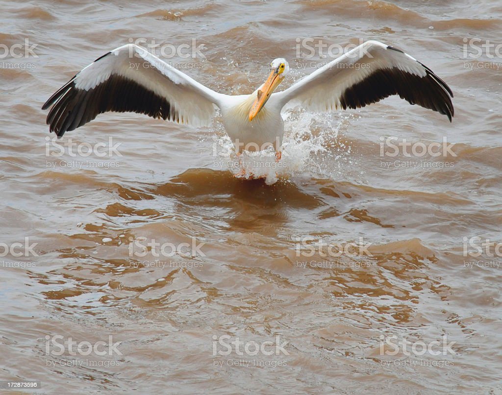 American White Pelican Landing in Polluted Waters royalty-free stock photo