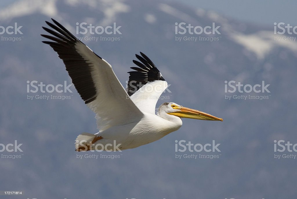 American White Pelican stock photo
