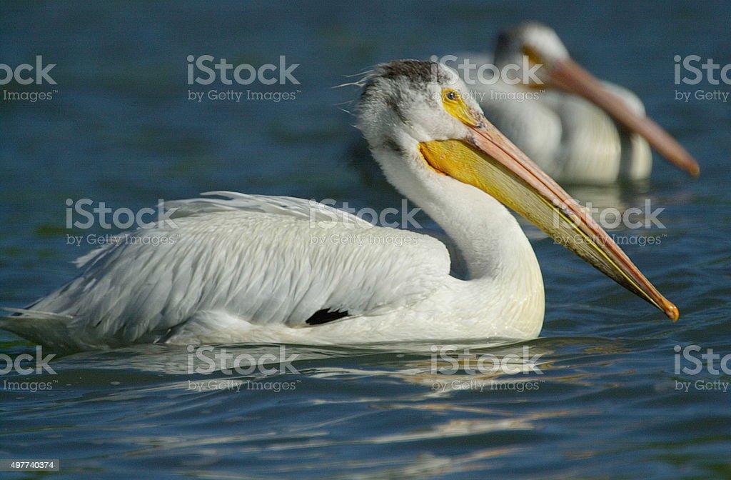 American White Pelican (Pelecanus erythrorhynchos) stock photo