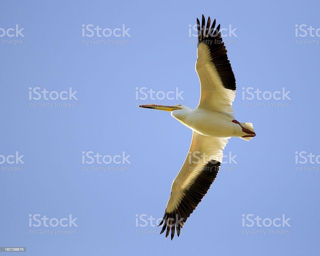 American White Pelican (Pelecanus erythrorhynchos) Soaring stock photo