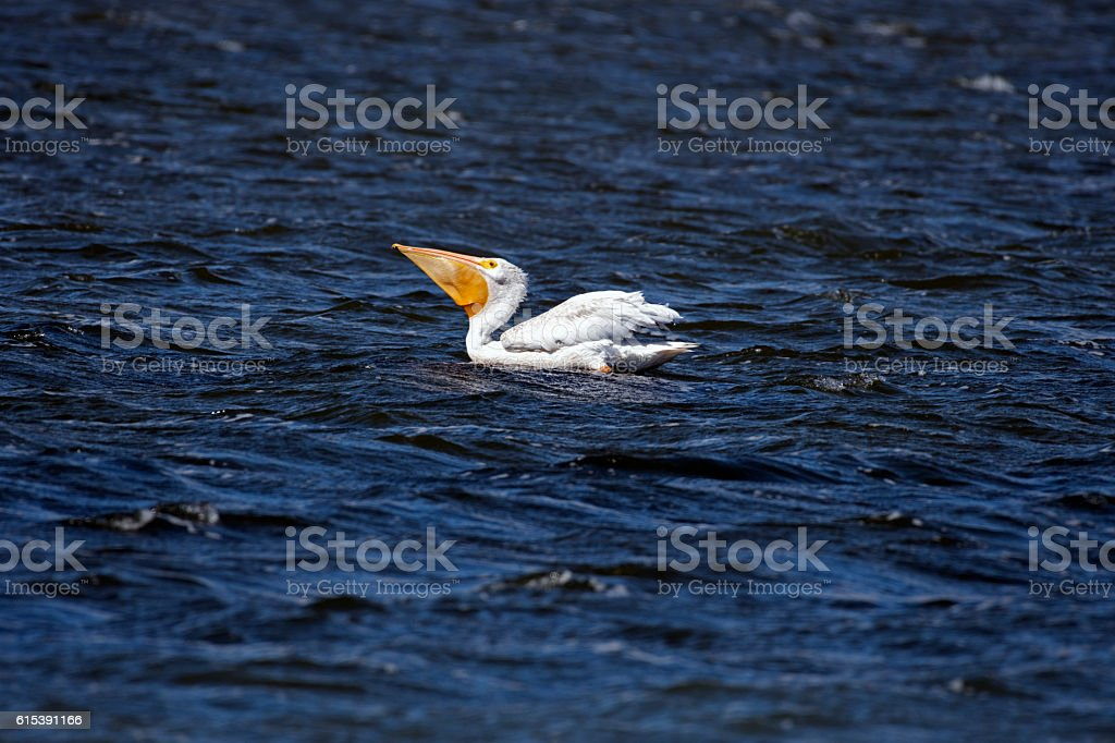 American White Pelican swallowing catch stock photo