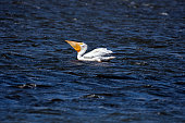 American White Pelican swallowing catch